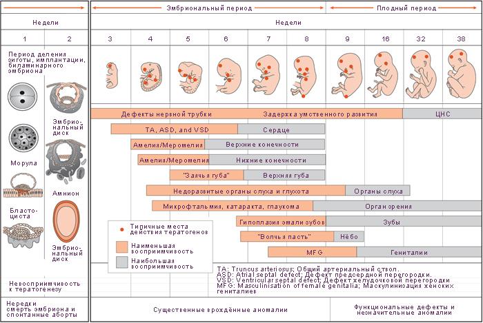 Опасные недели беременности в первом триместре